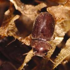 Tobacco Beetle