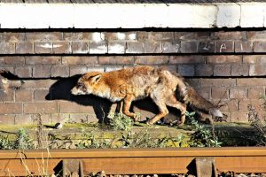 Urban fox control in Newcastle, Sunderland, Northumberland and Durham