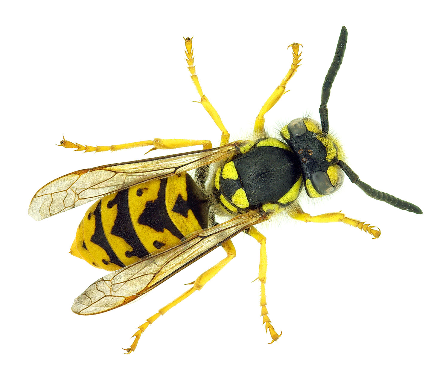 Wasp Control All Areas Of Pest Control Service Wasp