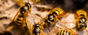 Wasp nest, showing wasps working.