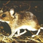 Wood Mouse in Woods