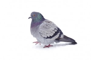 a feral pigeon looking very tidy