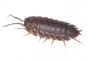Woodlice requiring a spray treatment